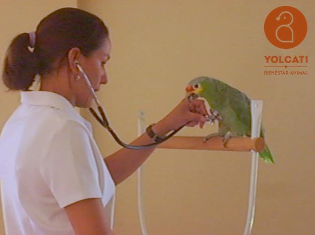 Auscultación. Revisión veterinaria. Loro. Yolcati (1)
