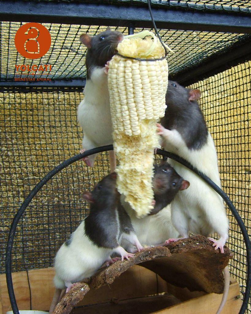 Ratos comiendo elote. Yolcati